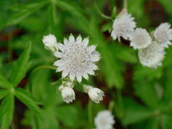 fleurir l'ombre : Astrance - Hortus Focus