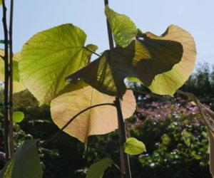 Alchornea davidii - Hortus Focus