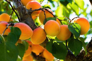 abricot - abricotier - Hortus Focus