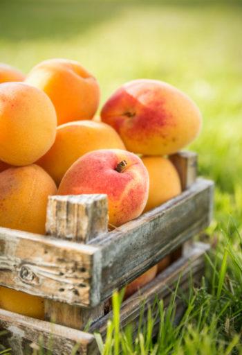 récolte d'abricots - Hortus Focus