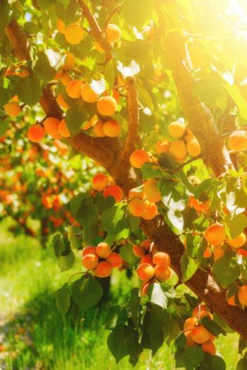 abricots sur abricotier - Hortus Focus
