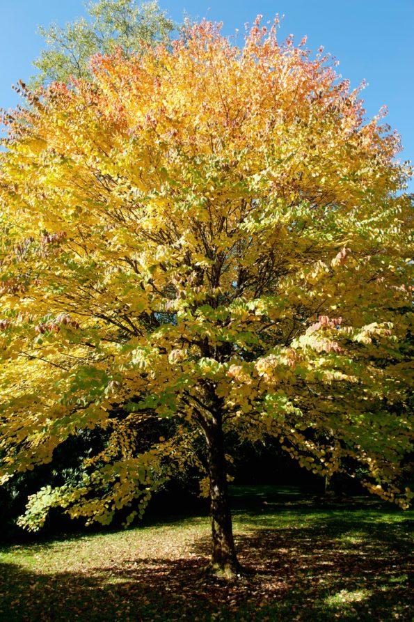 L'arbre au caramel