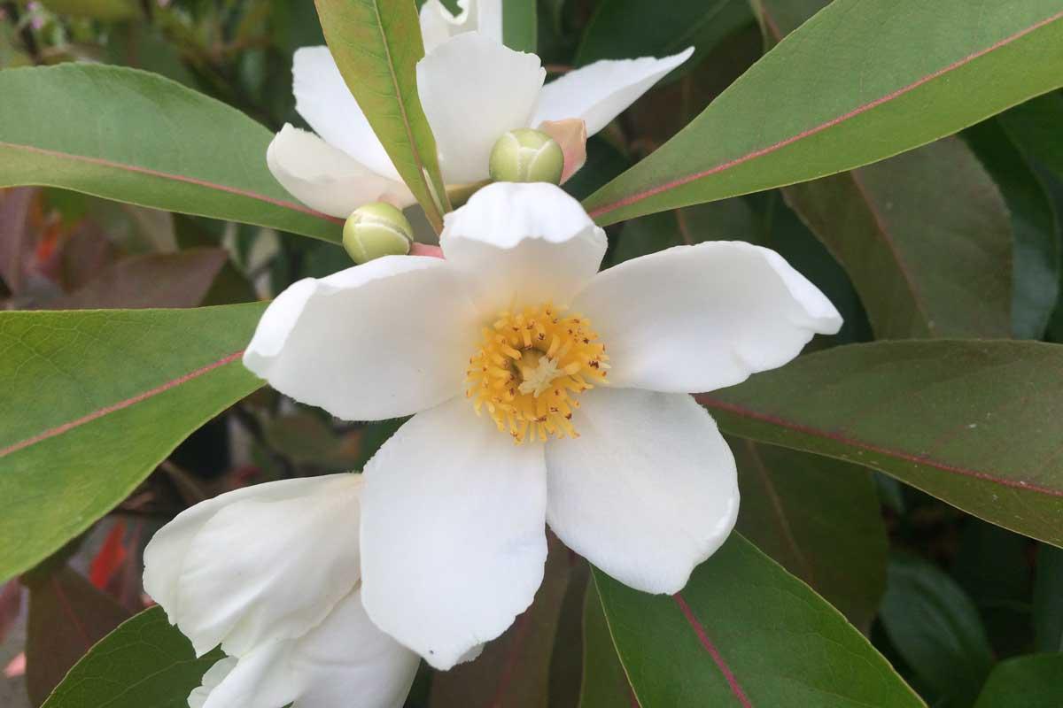 Gordlinia : fleurs