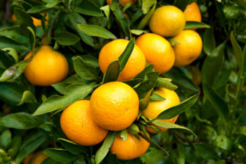 mandarinier Satsuma - Hortus Focus