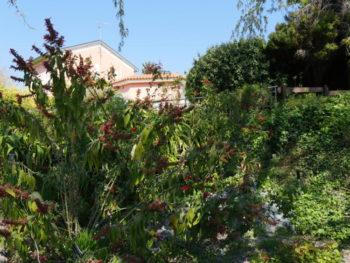 sauge subtropicale - Hortus Focus