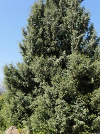 Cupressus dupreziana - Hortus Focus