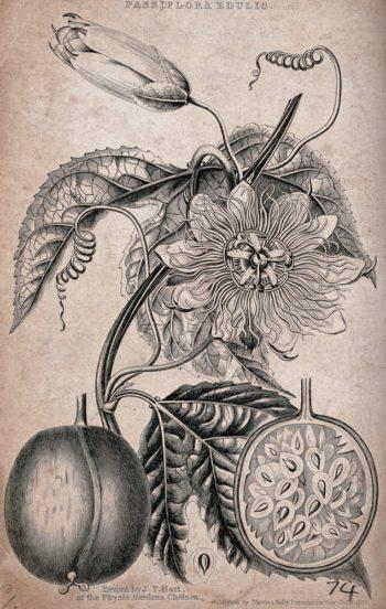 gravure ancienne - passiflore caerulea