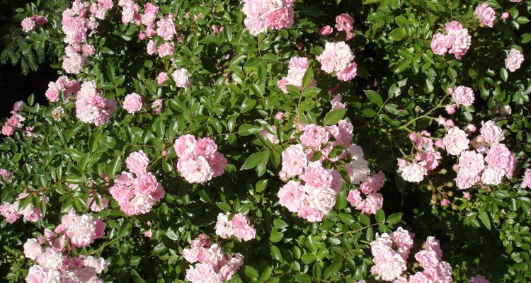 Rosiers couvre-sols : rosa the fairy