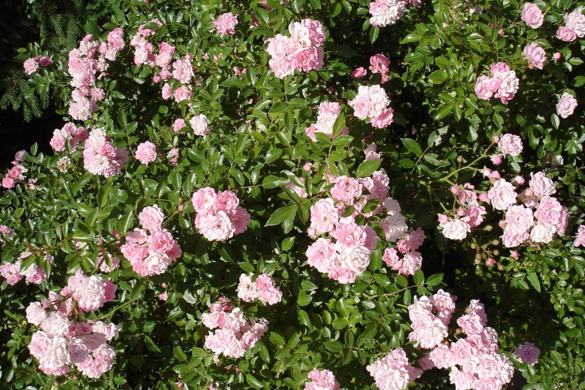Couper Les Rosiers En Octobre utiliser les rosiers en couvre-sols - hortus focus i mag