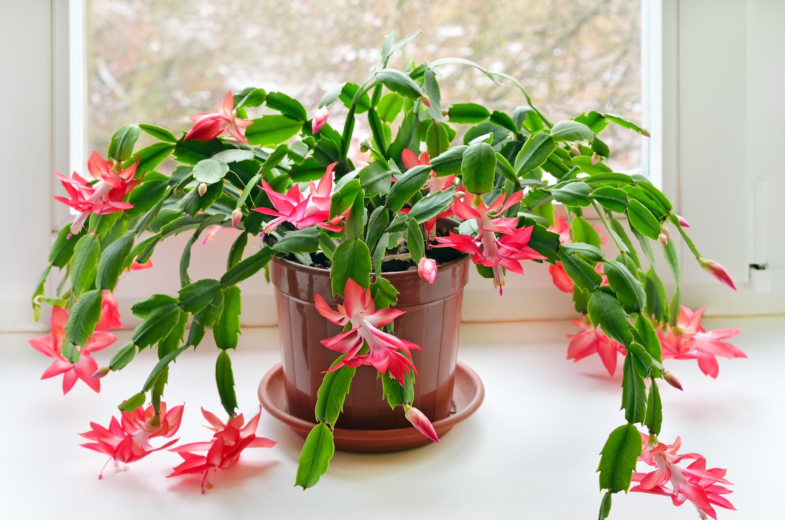 Cactus de Noël - Schlumbergera