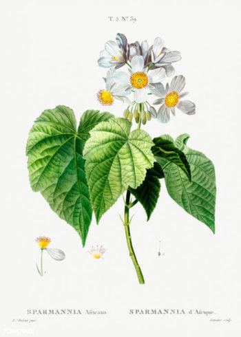 sparmannia africana planche botanique