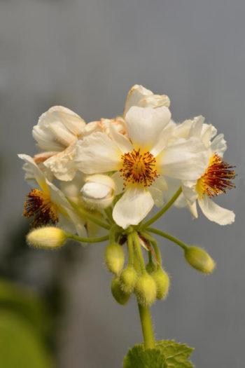 Sparmania africana - Hortus Focus