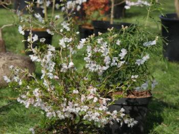 Prunus Kojo-no-mai - Hortus Focus
