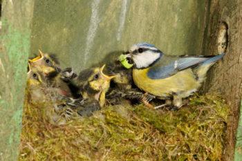 bébé mésange au nid - Hortus Focus