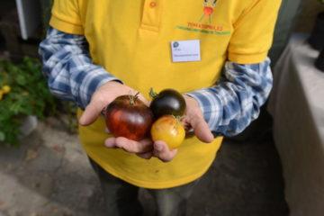 tomate bleue - hortus Focus
