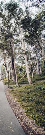 Eucalyptus - Australie
