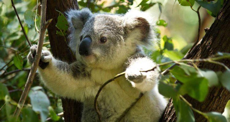 Eucalyptus : Koala