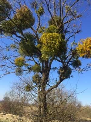 Gui sur l'arbre
