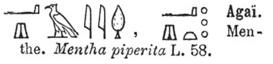 Mentha piperita hieroglyphes