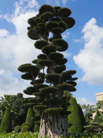 olivier en plateau - Radicepura - Hortus Focus