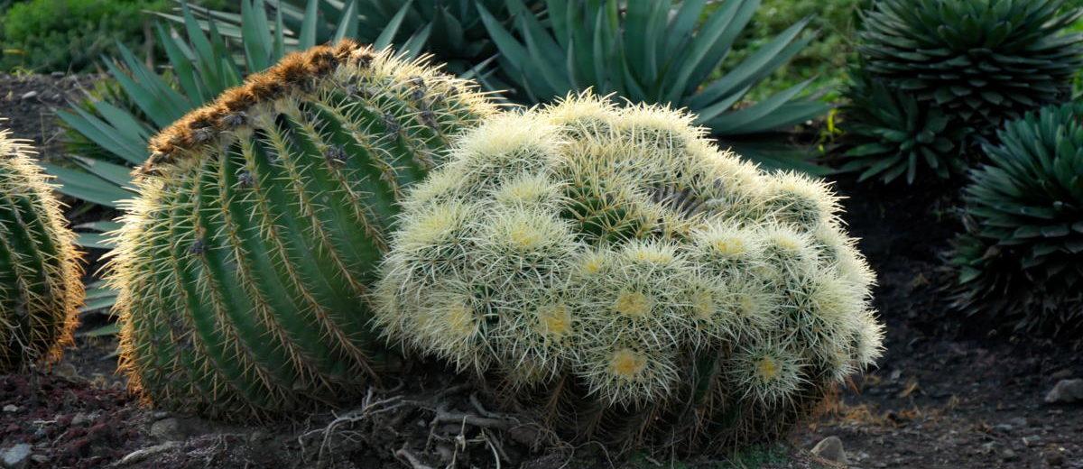 Echinocactus - Hortus Focus