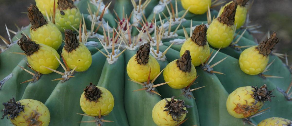 Ferocactus frutescens - Hortus Focus