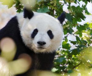 Panda géant - Hortus Focus