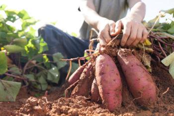récolte de patate douce - Hortus Focus