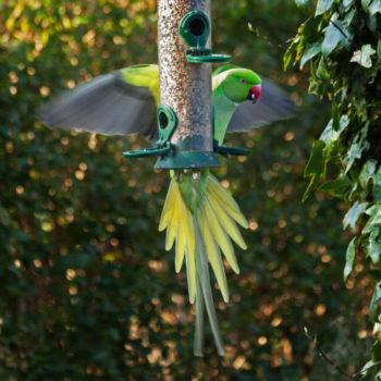 perruche à collier - hortus focus