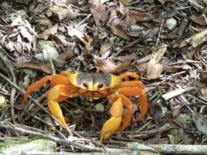 Ciénaga de Zapata - crabe de terre