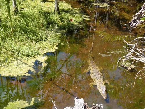 Ciénaga de Zapata - petit crocodile et marais