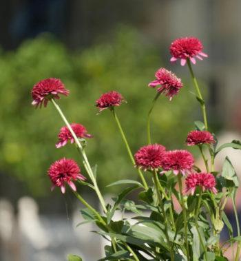 Echinacea 'Piccolino' - Hortus Focus