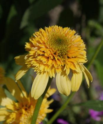 Echinacea Lemon Drop - Hortus Focus