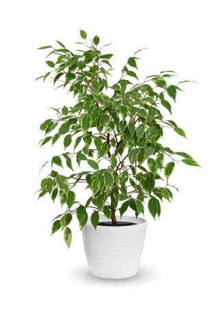 Ficus benjamina - Hortus Focus
