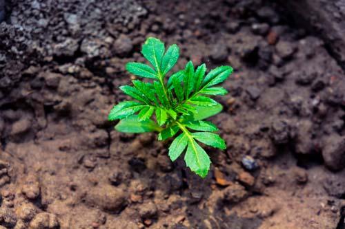 œillet d'inde : germination