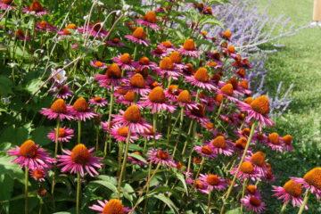 Echinacea - Mas des Béalières