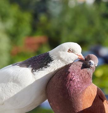oiseaux : pigeons