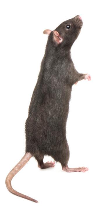 rat dressé sur ses pattes