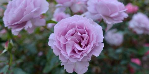 Rose synactif by Shiseido - Delbard