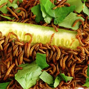 Insectes : vers de farine