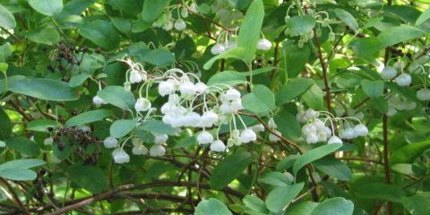 Zenobia pulverulenta - Hortus Focus