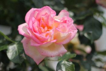 Rosa Princesse de Monaco - Hortus Focus
