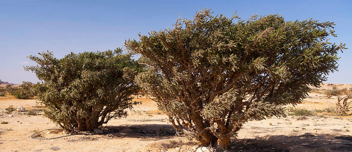 L'arbre à encens, Boswellia sacra - Hortus Focus I mag