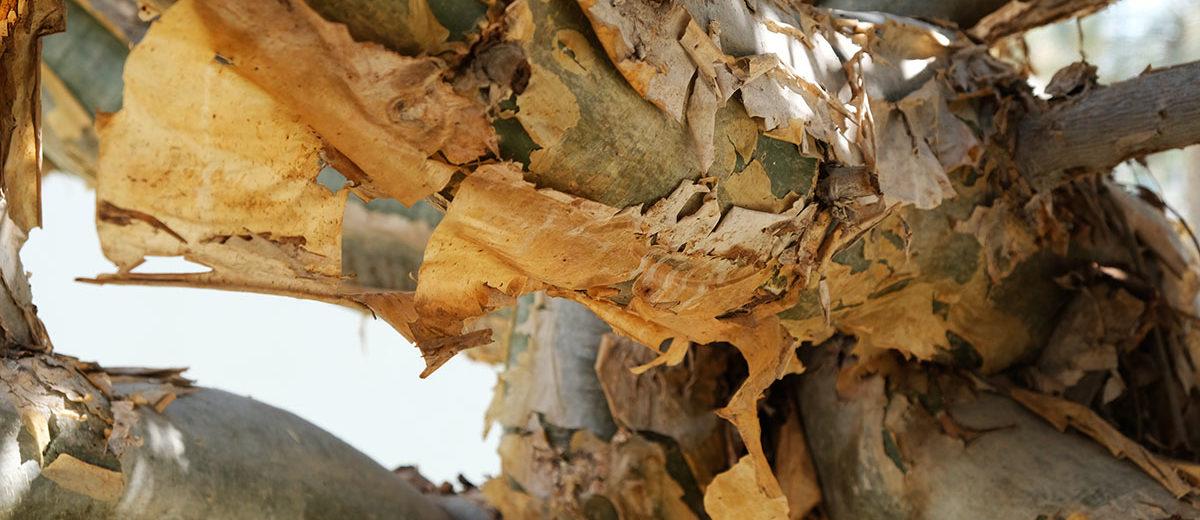 Écorce Boswellia sacra - Hortus Focus