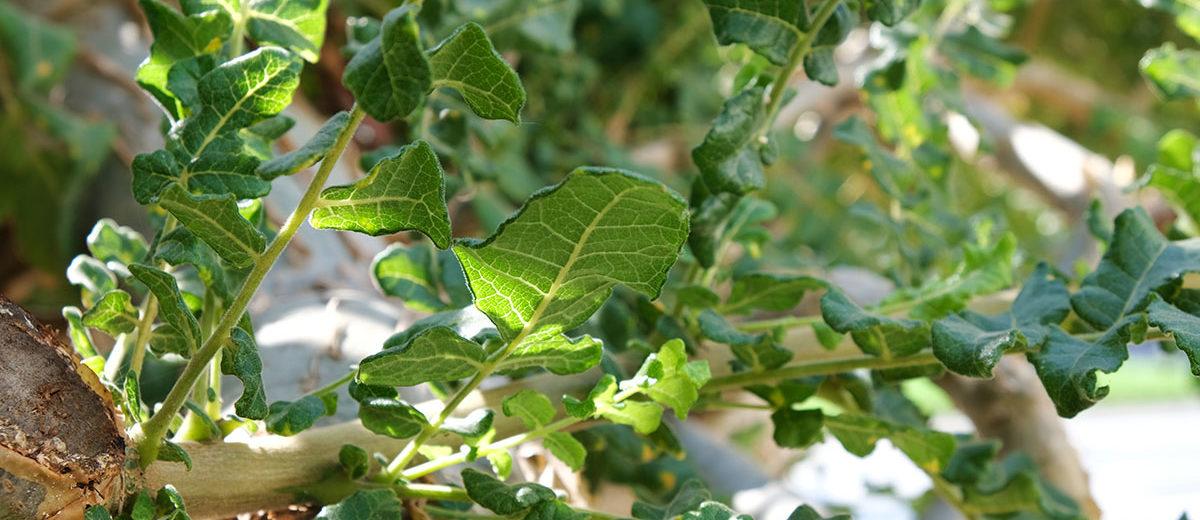 Feuillage Boswellia sacra - Hortus Focus