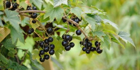 Ribes nigrum - Hortus Focus
