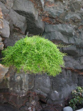 Asparagus - Jameos del Agua - Isabelle Morand - Hortus Focus