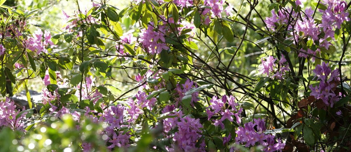 Rhododendron - Hortus Focus