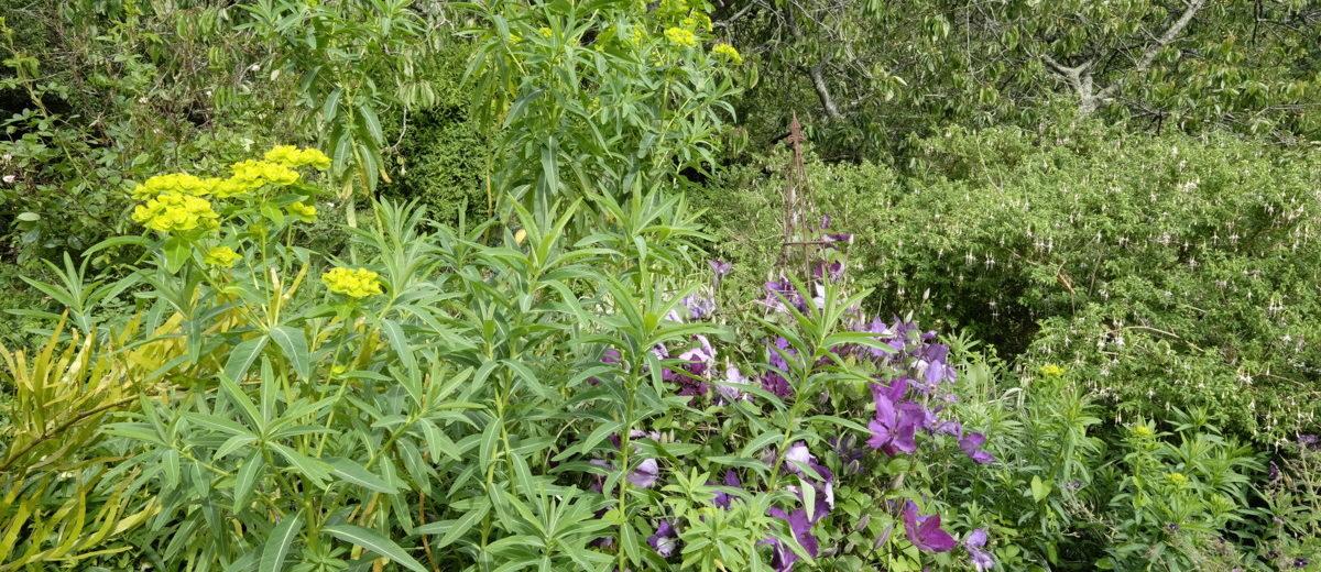 Euphorbia - Clematis - Hortus Focus