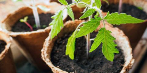 semis de tomate - Hortus Focus